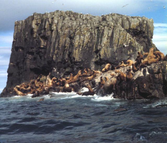Aiugunak Pinnacles Steller Sea lions Picture