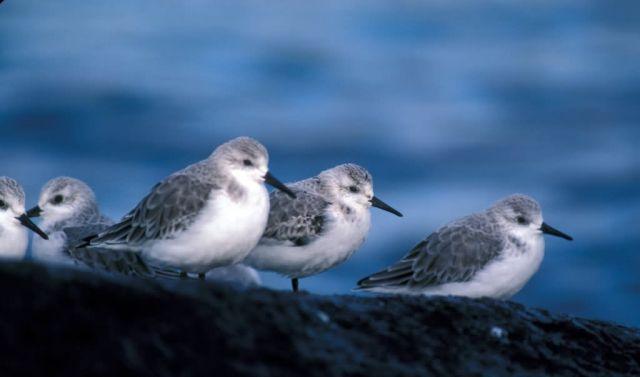 Sanderlings, Adak Island, non-breeding plumage Picture