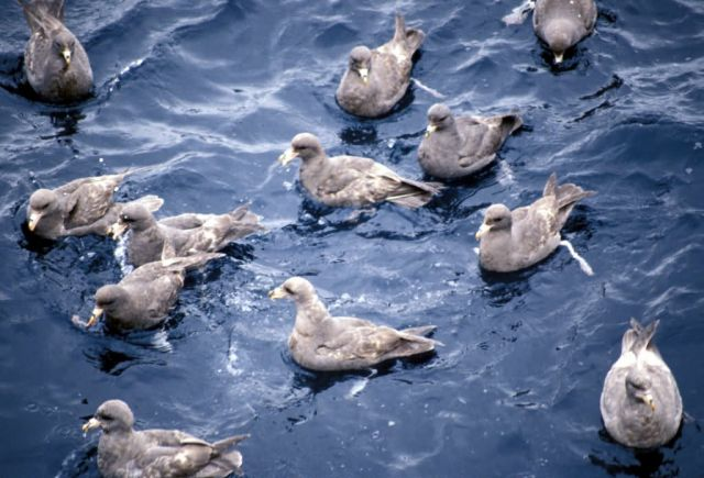 Northern Fulmar Flock,1987 Picture