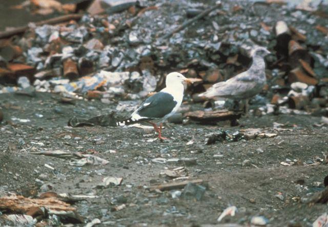 Slaty-backed Gull, Attu 1985 Picture