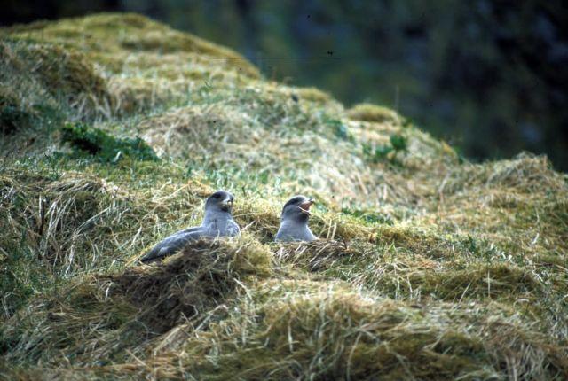Northern Fulmar nesting, Chaguluk Island Picture