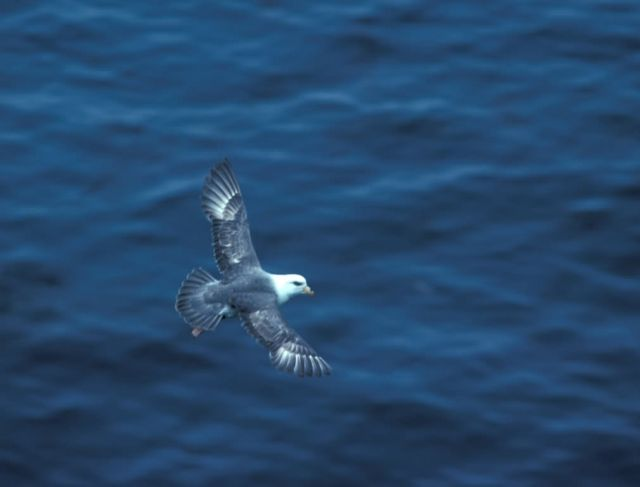 Northern Fulmar in flight Picture