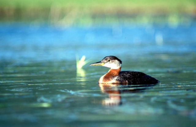 Red-necked Grebe, Picture