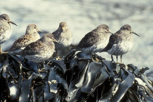 Rock Sandpipers Picture