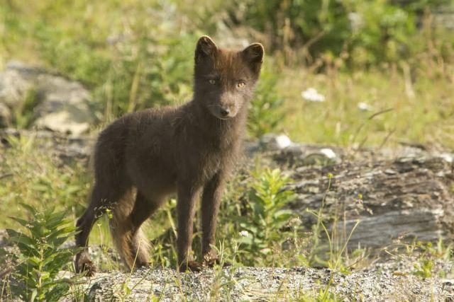 Sanak South fox , Arctic Fox Picture