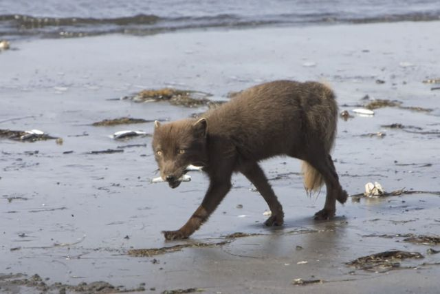 Sanak south fox camp, Arctic Fox Picture