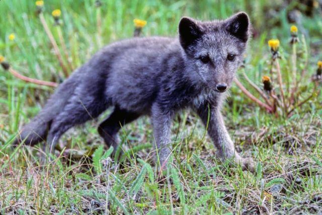 Arctic Fox Pup Picture