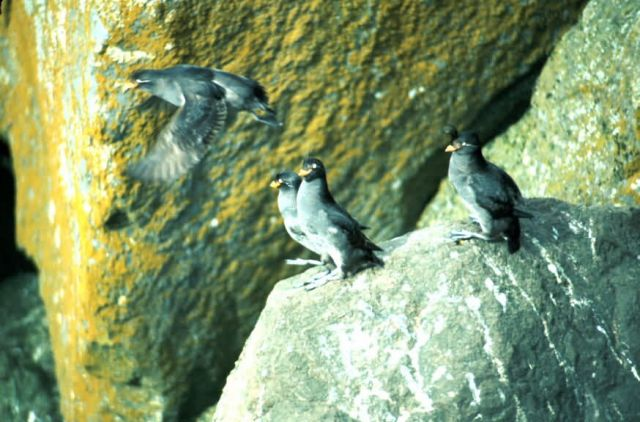 Crested Auklet Picture