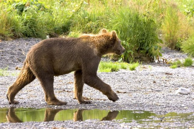 Brown Bear Cub Picture