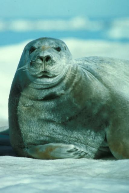 Bearded Seal Portrait Picture