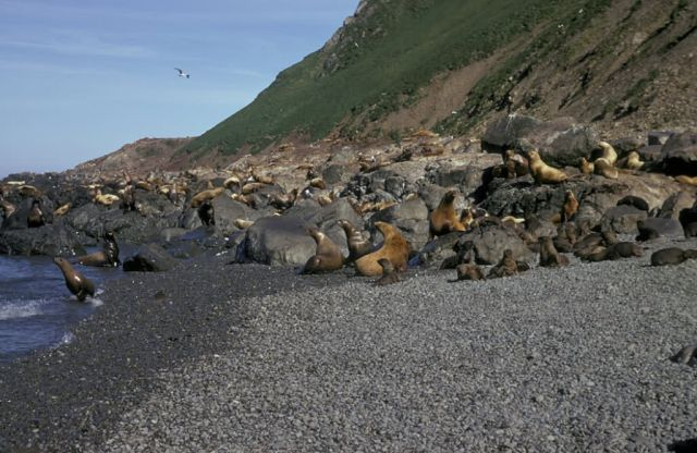 Steller Sea Lion Picture