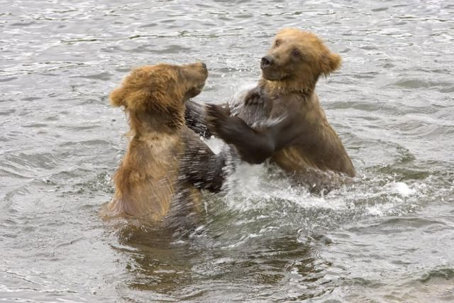 Brown Bear Cubs Playing in Water Picture
