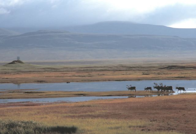 Caribou Herd Picture