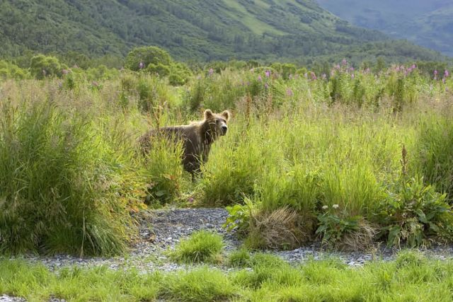 Brown Bear in Tall Grass Picture