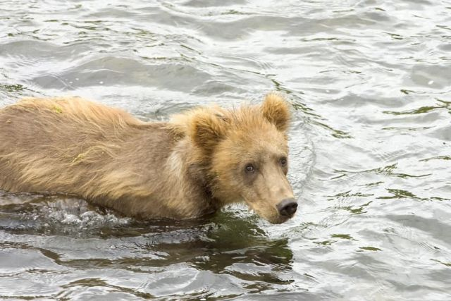 Brown Bear Cub in Water Picture