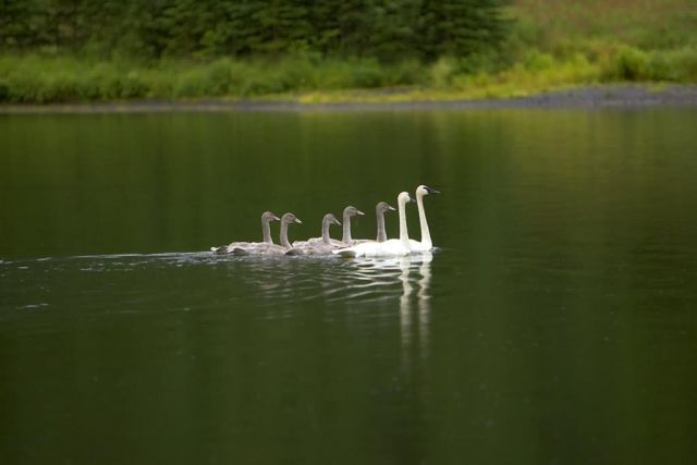 Swan Pair with Gygnets on Pond Picture
