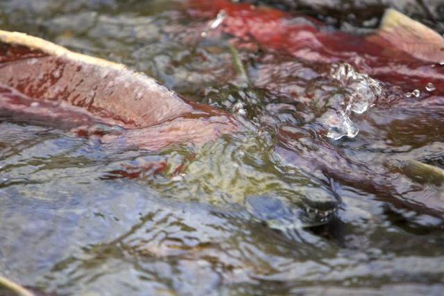 Salmon in Stream Picture