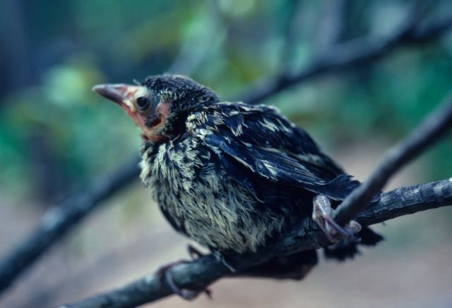 Baby Grackle Picture