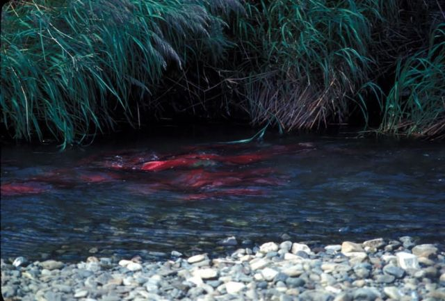 Red Salmon or Sockeye Salmon in Spawning Bed Picture