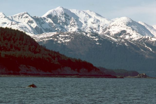 Humpback Whale Breaching in Southeast Alaska Picture