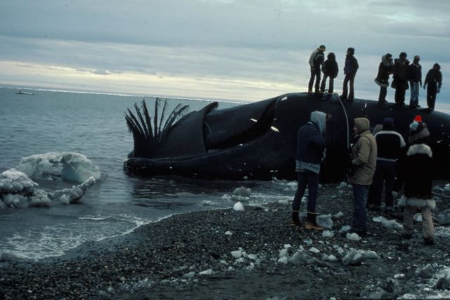 Subsistence Whale Harvest and Butchering Picture