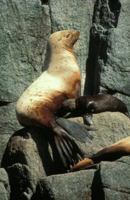 Steller Sea Lion and Pup Picture