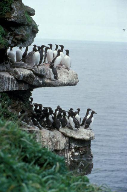 Murres on Sea Cliffs, Priibilof Islands Picture