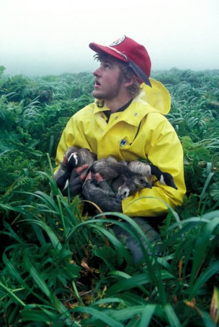 Aleutian Cackling Goose with Biologist Picture