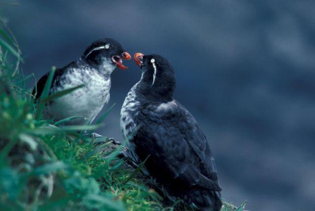 Parakeet Auklet Pair Picture