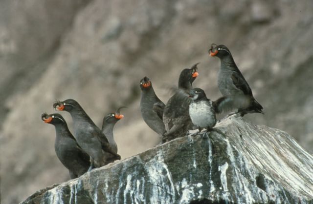 Crested Auklet Group on Cliff Rocks Picture