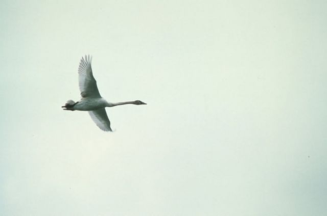 Trumpeter Swan over Martin Lake Picture