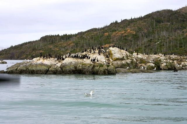 Cormorants and Gulls on Sea Rock Picture