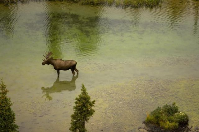 Moose in River Picture