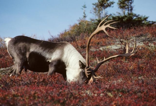 Caribou Feeding Picture