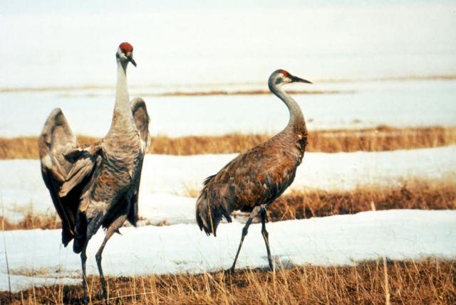 Sandhill Crane Pair Picture