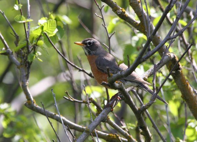 American Robin Female Picture