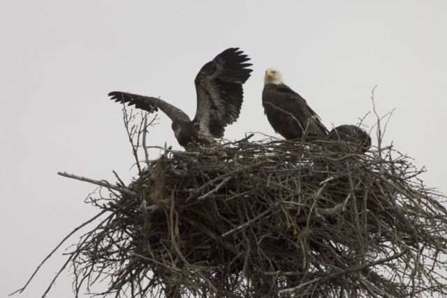 Bald Eagles nesting at Islands and Ocean Visitor Center Picture