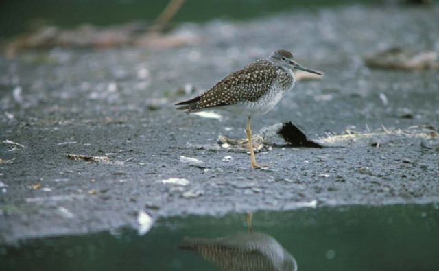 Greater Yellowlegs Picture