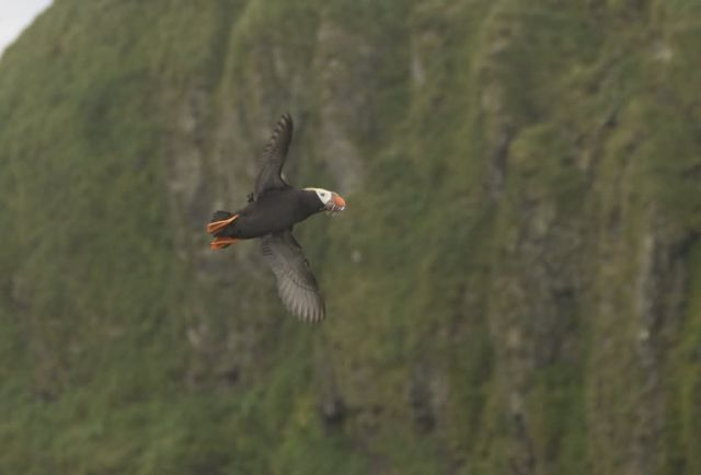 Tufted Puffin in flight, Aiktak Island Picture