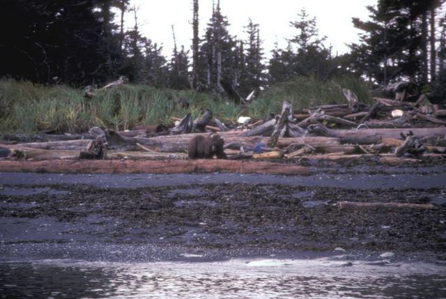 Afognak Island beach. Brown Bear Picture