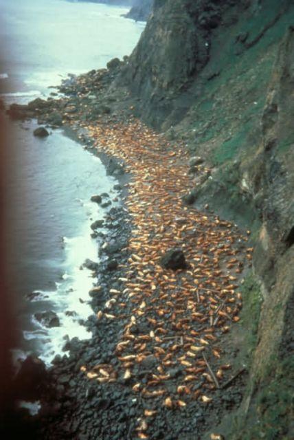 Ugamak Island, Stellers Sea Lion rookery, 1967 Picture