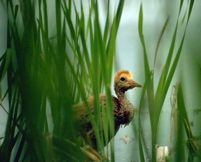 Sandhill Crane Colt in Marsh Picture