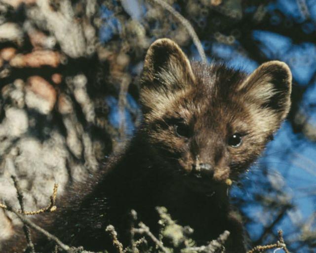 Marten in Spruce Tree Picture