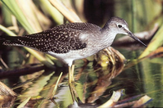 Lesser Yellowlegs in Wetlands Picture