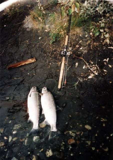 Silver Salmon or Coho Salmon Catch Picture