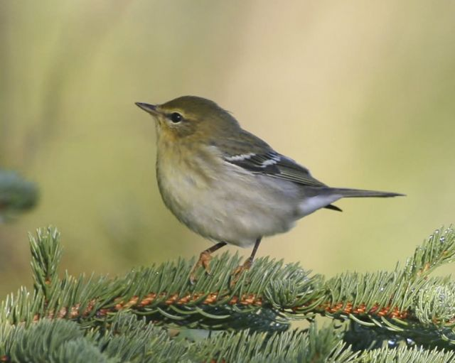 Blackpoll Warbler - Fall Plumage Picture