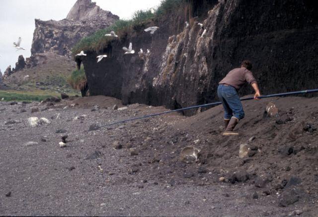 Bogoslof Island noosing Common Murre Picture