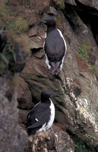 Thick-billed Murres on Hall Island Picture