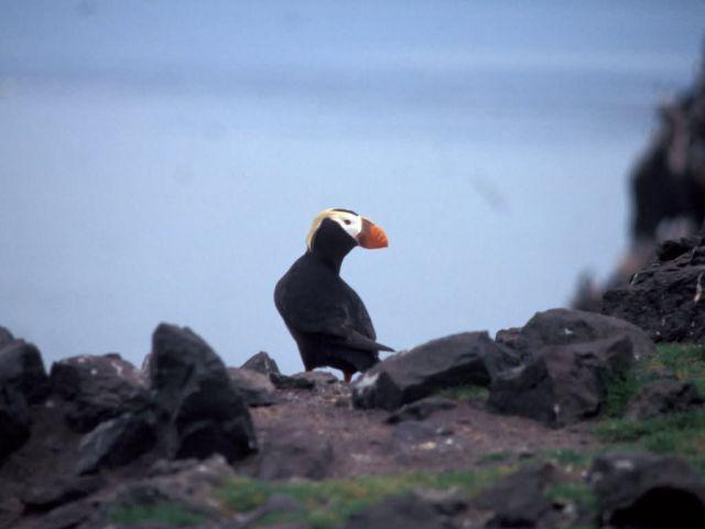 Tufted Puffin Bogoslof Island Picture