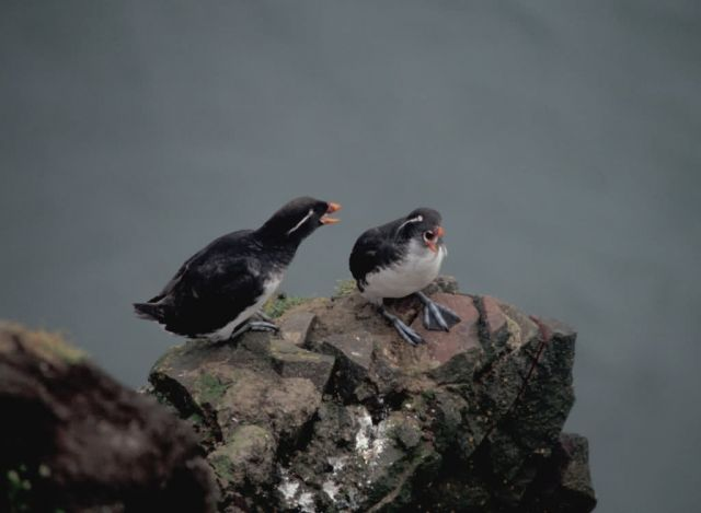 Parakeet Auklets on Hall Island Picture